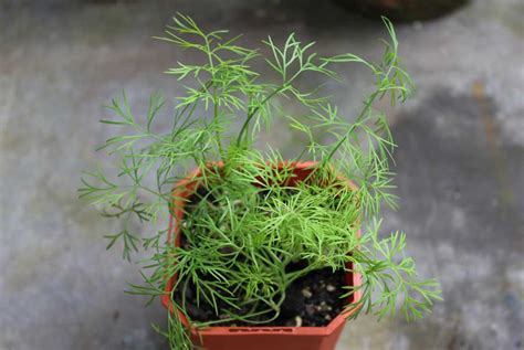 grow dill in pot dill pod easy edible gardening