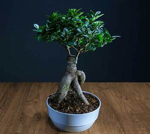 Bonsai Ficus Ginseng : ficus ginseng pruning watering and how to care for it ~ Buech-reservation.com Haus und Dekorationen