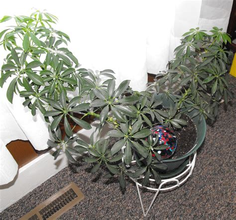 octopus plant care umbrella plant octopus plant schefflera are one in the same