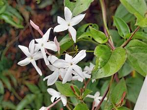 Flores del jazmín :: Imágenes y fotos