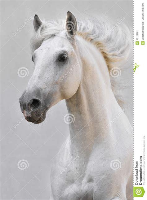 white horse stallion  gray background stock image