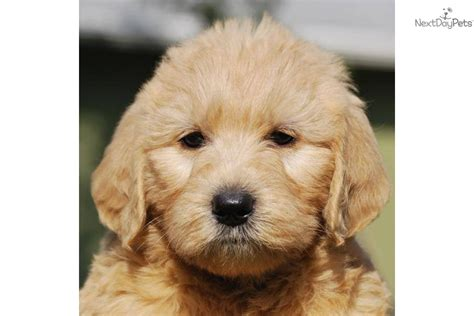 cutest non shedding dogs labradoodle puppy for sale near west palm florida