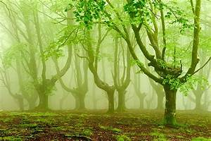 Foggy forests of ancient trees pruned for charcoal in for Foggy basque forests oskar zapirain