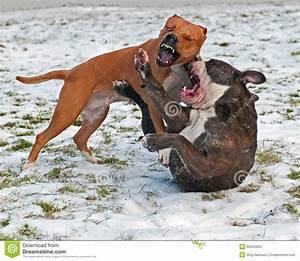 Pitbull Terrier Fight | www.pixshark.com - Images ...