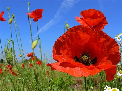 poppy flowers pictures beautiful poppy flower pictures our favorite poppy flower