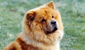 dogs that looks like bears
