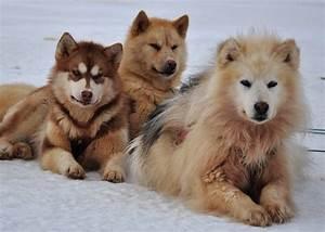 Best 25+ Greenland dog ideas on Pinterest | Beautiful eyes ...