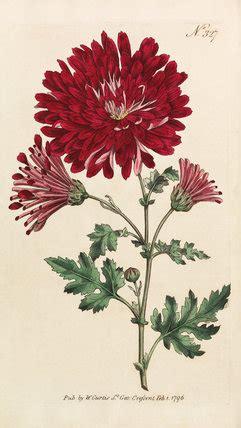 chrysanthemum indicum chrysanthemum morifolium