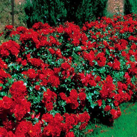 shrub roses la sevillana bush rose hello hello plants garden supplies