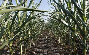 Purdue scientists working to make drought-resistant crops