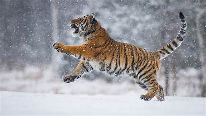 Snow Tiger Animals Playing Background Field Wallpapers
