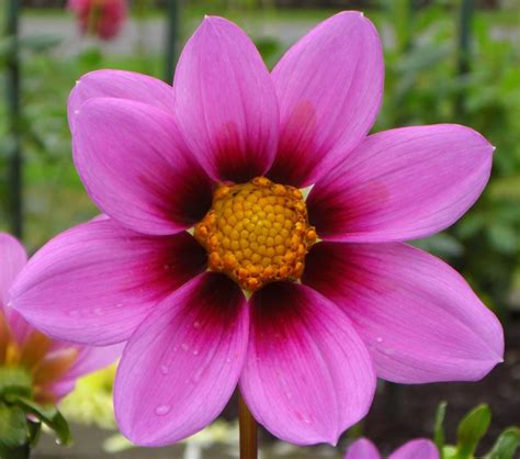 the picture of flower free photo cosmos flower flower pink purple free image on pixabay 1949