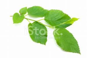 Листья грецкого ореха от диабет