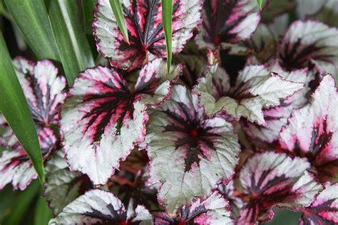 fiori begonie fiori da ombra le begonie