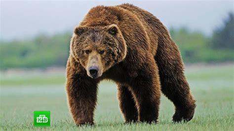 Виды медведей. описание названия и особенности медведей . живность.ру