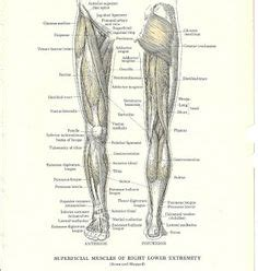 They depend greatly on our genes and what we do with them. 36 Best muscle anatomy images | Muscle anatomy, Anatomy ...