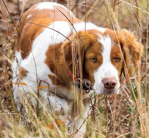 Sporting Dogs - List of all sporting dog breeds - K9