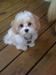 teacup cavachon puppies google search cavachon puppies cavachon yorkshire terrier