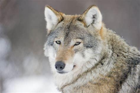 Majestic Winter Wolf