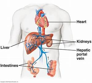 What Is Hepatic Portal System
