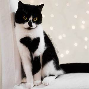 Cute Cat Wears Her Heart On Her Chest    Literally