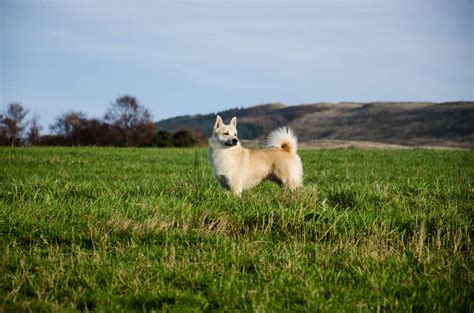 norwegian buhund dogs breed information omlet