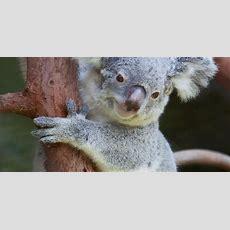 Riverbanks Zoo Welcomes New Baby Koala