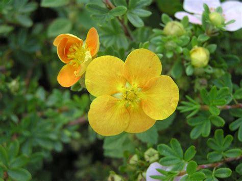 Dasiphora fruticosa (L.) Rydb. | Plants of the World ...