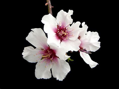 foto mandorlo in fiore 012 fiore di mandorlo foto immagini piante fiori e