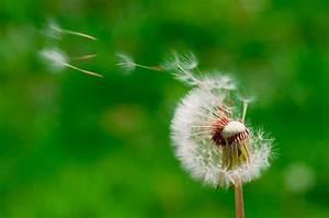 File:Blown dandelions, green background.jpg - Wikimedia ...  Blowing