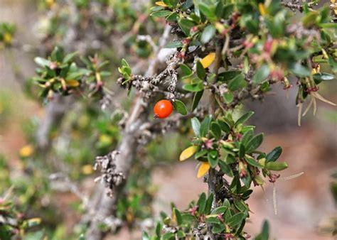 tasmania currant mountain rubiaceae tasmanian alpine plants