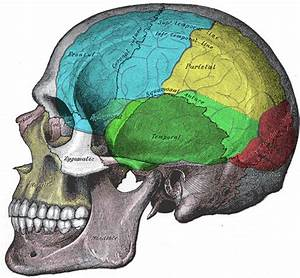 External Brain Anatomy