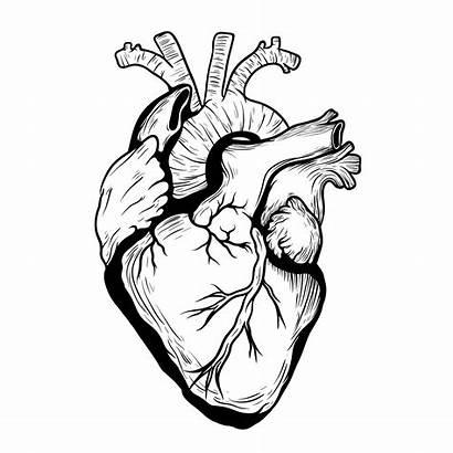 Heart Drawing Correct Anatomically Shape Organ Clipartmag