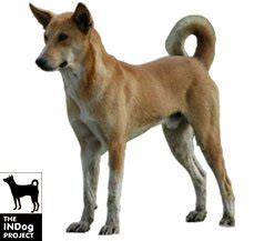 indian pariah dog dog breed information dogspot in