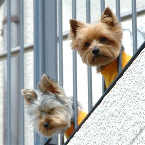 Miniature Yorkshire Terrier Real Dog Cl Ifieds