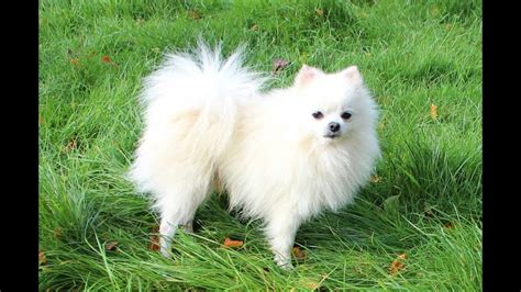 white pomeranian dog youtube