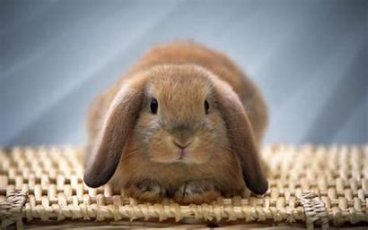 Bunny Easter Wallpapers Rabbit Bunnies Rabbits Animal