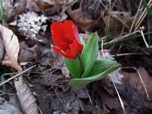 La F U00c9e Des Bois  Une Premi U00e8re Tulipe