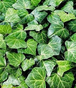 Kletterpflanzen Winterhart Immergrün Schnellwachsend : efeu 39 baltica 39 efeu arten und sorten pinterest efeu garten und immergr n ~ Yasmunasinghe.com Haus und Dekorationen