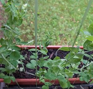 Gemüse Auf Dem Balkon : gem se auf dem balkon f nf pflanzen f r den einstieg ~ Lizthompson.info Haus und Dekorationen