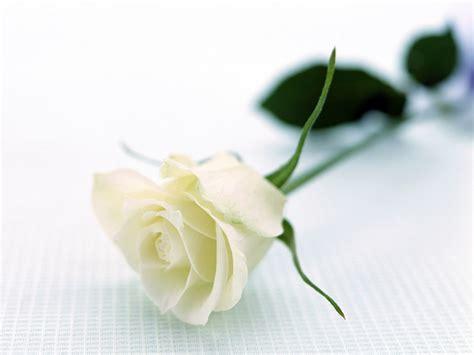 Beautiful Single White Rose