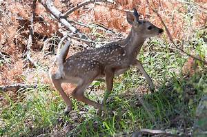 Baby Coues White-tailed Deer | Flickr - Photo Sharing!