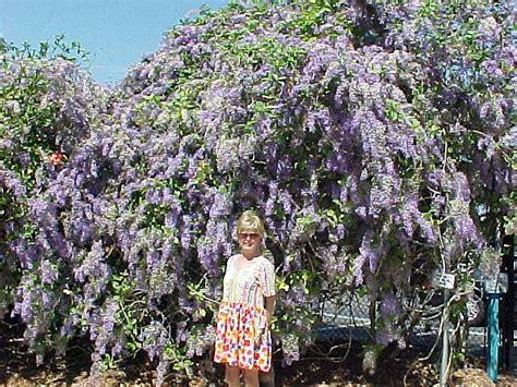 queens wreath vine petrea volubilis
