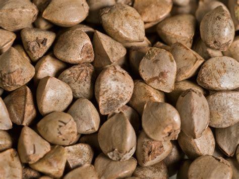 cuisiner les graines de sarrasin cuisiner les graines de sarrasin graines de sarrasin bio