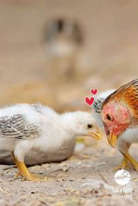 35 best images about Baby Chickens on Pinterest | Buff ...