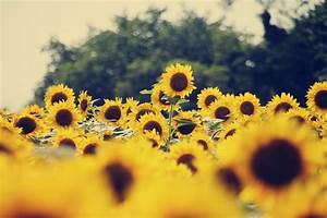 tumblr vintage sunflowers