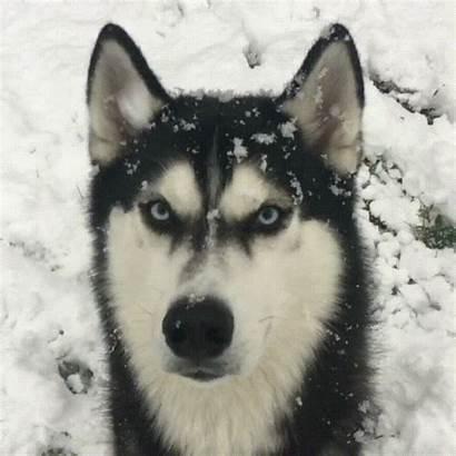 Huskies Amazing Eyes Qualities