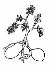 Potato Coloring Plant Pages Printable Drawing Potatoes Sweet Plants Turnip Supercoloring Template Colouring Sheets Tomato Explore Tomatoes Super Enormous sketch template