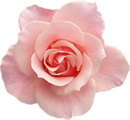 peony flowers rosas png para photoshop imagui