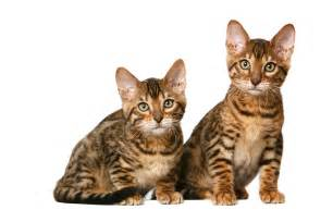 toyger cats the toyger wallpapers animals wiki pictures